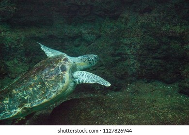 Green Sea Turtle Chelonia mydas swims along a coral reef.