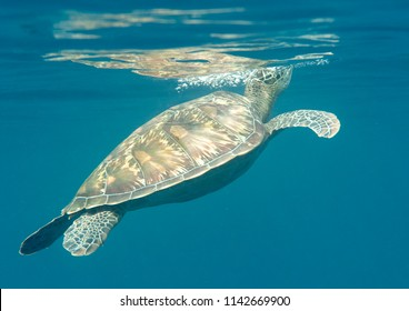 Green sea turtle (Chelonia mydas) swims to the surface to breath air, Bali, Indonesia