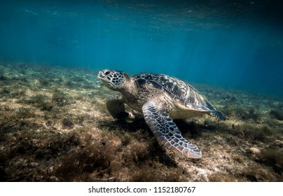 Green sea turtle (Chelonia mydas) resting in sea grass at Apo island, Philippines