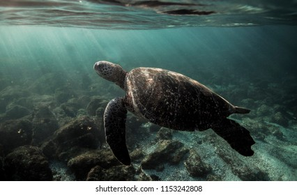Green sea turtle (Chelonia mydas) swimming underwater in the Galapagos Islands