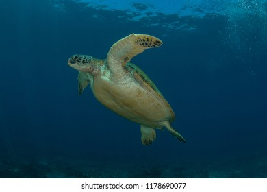 The Green Sea Turtle, Chelonia Mydas