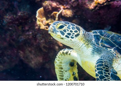 A green sea turtle (Chelonia mydas ) swimming around coral reef. Kashiwajima Kochi Japan