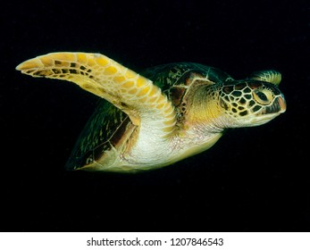 Green sea turtle (Chelonia mydas) Cebu, Philippines