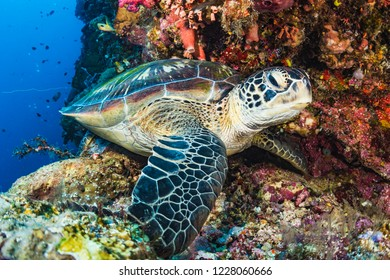 A green sea turtle, Chelonia mydas, hides in a hole in a coral wall off Manado, Indonesia.