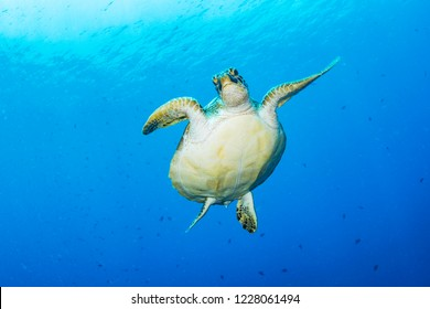 A green sea turtle, Chelonia mydas, against a clean, blue, ocean background.