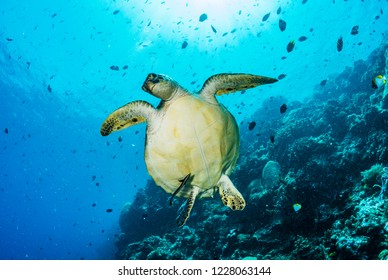 A green sea turtle, Chelonia mydas, swimming near a coral reef.