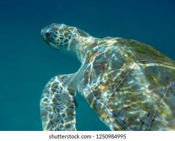 Green sea turtle (Chelonia mydas) swimming in clear blue sea in Barbados, Caribbean.