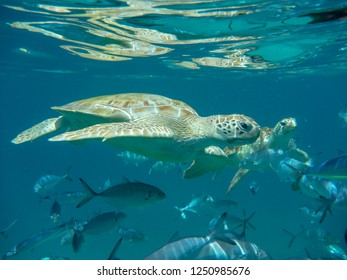 Green sea turtle (Chelonia mydas) and fish swimming in clear blue sea in Barbados, Caribbean.