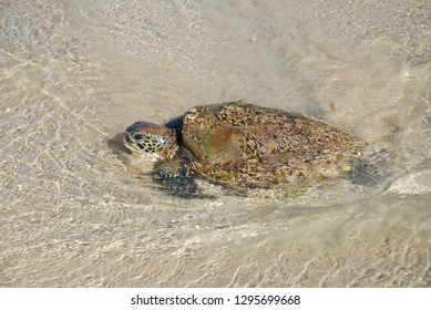 Green sea turtle, Chelonia mydas, washed up on the beach suffering from malnourishment, possibly caused by ingesting plastic. Florence Bay, Magnetic Island, Townsville, Queensland, Australia