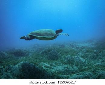Green Sea Turtle (Chelonia mydas) lies at the bottom in sea.