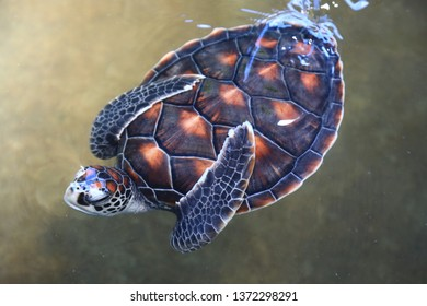 Green sea turtle (Chelonia mydas), also known as the green turtle, or Pacific green turtle,The common name refers to the usually green fat found beneath its carapace,not to the color of its carapace.