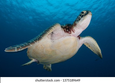 A Green sea turtle, Chelonia mydas, swims in the blue waters above a reef in Palau. This tropical island-nation is home to extraordinary marine biodiversity.