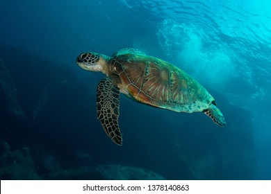 Green sea turtle, Chelonia mydas in tropical coral reef
