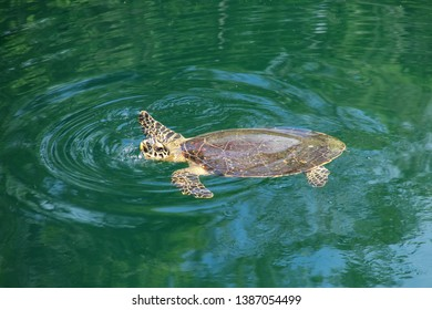 Green sea turtle (Chelonia mydas) swimming in Turtles Hole on Ouvea Island, Loyalty Islands, New Caledonia. This hole is connected undeground to the sea.