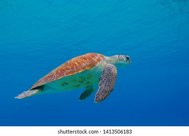 Green sea turtle (Chelonia mydas) swimming in the blue. Underwater photography, snorkeling with marine animal. Aquatic life in the ocean.