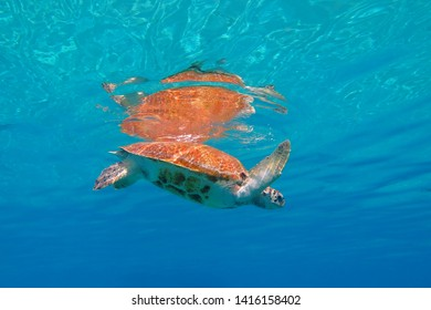 Green sea turtle (Chelonia mydas) in the shallow water with surface reflection. Azure ocean with marine animal, underwater photography. Snorkeling with turtles. Aquatic wildlife.