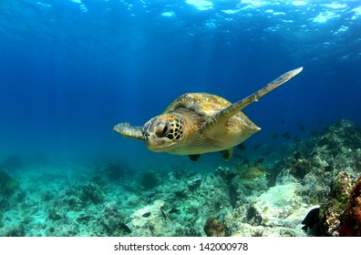 Green sea turtle (Chelonia mydas) swimming underwater
