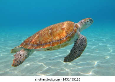 Green sea turtle (Chelonia mydas) in the shallow tropical ocean. Sandy bottom and swimming aquatic animal. Underwater photography from scuba diving with the sea turtles. Marine life.