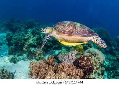 A Green Sea Turtle (Chelonia Mydas) swimming over a tropical coral reef in the Philippines