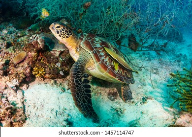 Green Sea Turtle (Chelonia Mydas) on a tropical coral reef in Bohol