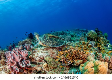 A Green Sea Turtle (Chelonia mydas) on a colorful tropical coral reef
