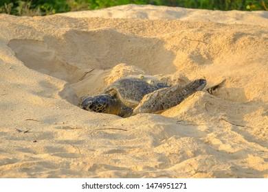 Green sea turtle (Chelonia mydas) laying eggs on the beach on the Galapagos Islands, Ecuador