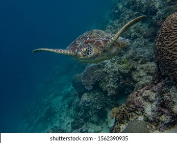 Green sea turtle (Chelonia mydas) swimming above a coral reef, frontal angle.