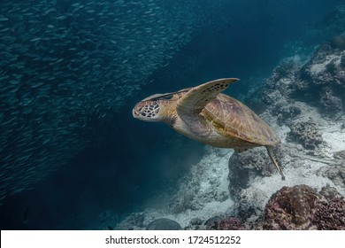 Green sea turtle (Chelonia mydas) swimming close to a school of fish. Remora fish attached behind its head.