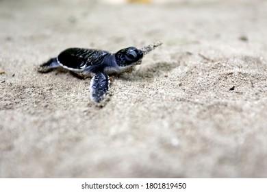 A Green Sea Turtle (Chelonia mydas) baby crawl in the beach's sand.