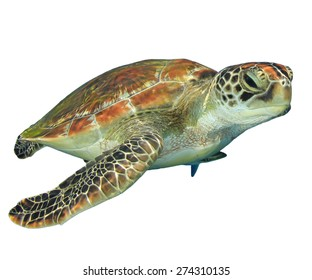 Green Sea Turtle (Chelonia mydas) isolated on white background