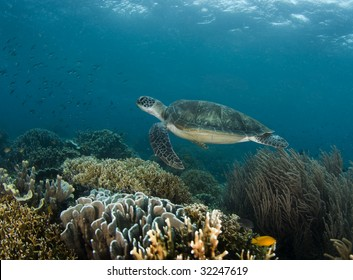 A Green Sea Turtle (Chelonia mydas) swims along a Philippine reef with the ripples from the ocean surface above