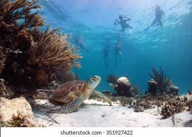 Green sea turtle Chelonia mydas, resting on the sand with snorkelers swimming above, Akumal Bay, Riviera Maya, Mexico