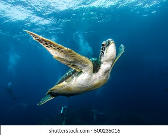 Green sea turtle, Chelonia mydas, swimming at Hin Muang.