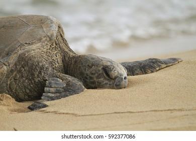 Green Sea Turtle - Chelonia mydas)