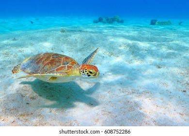 The green sea turtle (Chelonia mydas) swimming over the sandy white seabed. Fine white caribbean sand, blue water background. Corals in the distance. Colorful turtle shell, head an turtle fins.