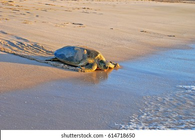 Green sea turtle, Chelonia mydas, Ras Al Jinz, Sultanate of Oman. Arabian Peninsula