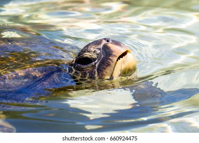 Green sea turtle (Chelonia mydas) swimming in the shallow water near Hilo on Big Island, Hawaii, USA.