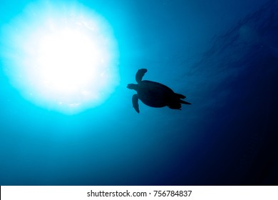 The green sea turtle Chelonia mydas