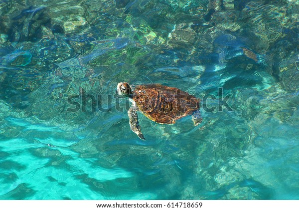 Green sea turtle, Chelonia mydas, Ras Al Jinz, Sultanate of Oman. Arabian Peninsula