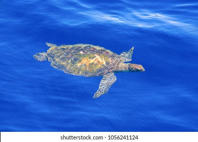 Green Sea Turtle in clear blue seawater. Big Green Sea Turtle is swimming in the blue ocean. Tropical coral reef, Similan, Andaman Sea, Thailand.