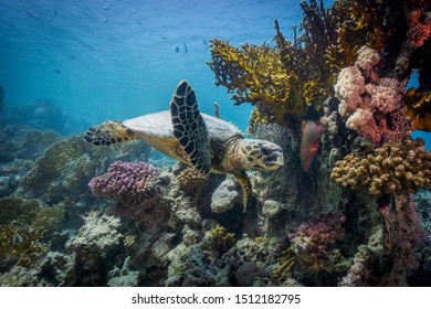 Green sea turtle close encounter. Gracefully swimming among coral reefs. Egypt, southern Red Sea.
