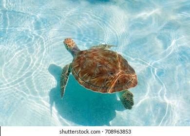 Green sea turtle. Close-up.