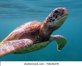 A green sea turtle coming up to the camera.