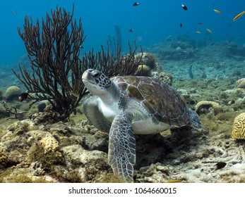 Green Sea Turtle in coral reef in the Caribbean Sea at scuba dive around Curacao /Netherlands Antilles