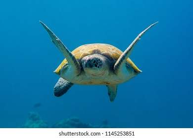 Green Sea Turtle at the coral reef in the Caribbean Sea around Curacao