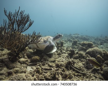 Green Sea Turtle  at the coral reef  of Caribbean Sea around Curacao