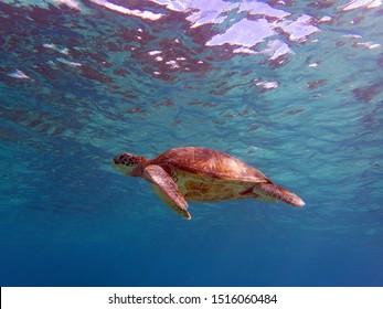 A green sea turtle cruising along above me.