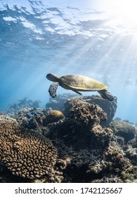 Green sea turtle cruising through tropical water in search for a snack, Ningaloo Reef, Western Australia