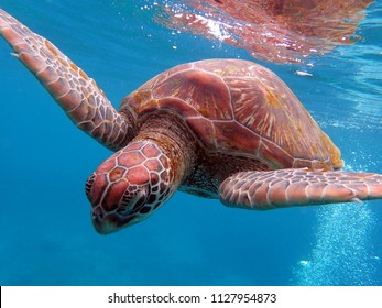 A green sea turtle diving down after taking a breath.