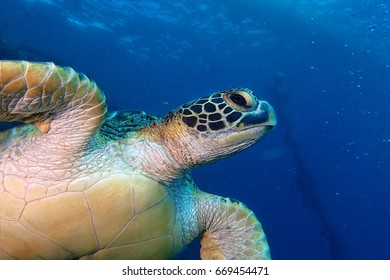 Green Sea Turtle during Scuba Diving at Moalboal, Philippines